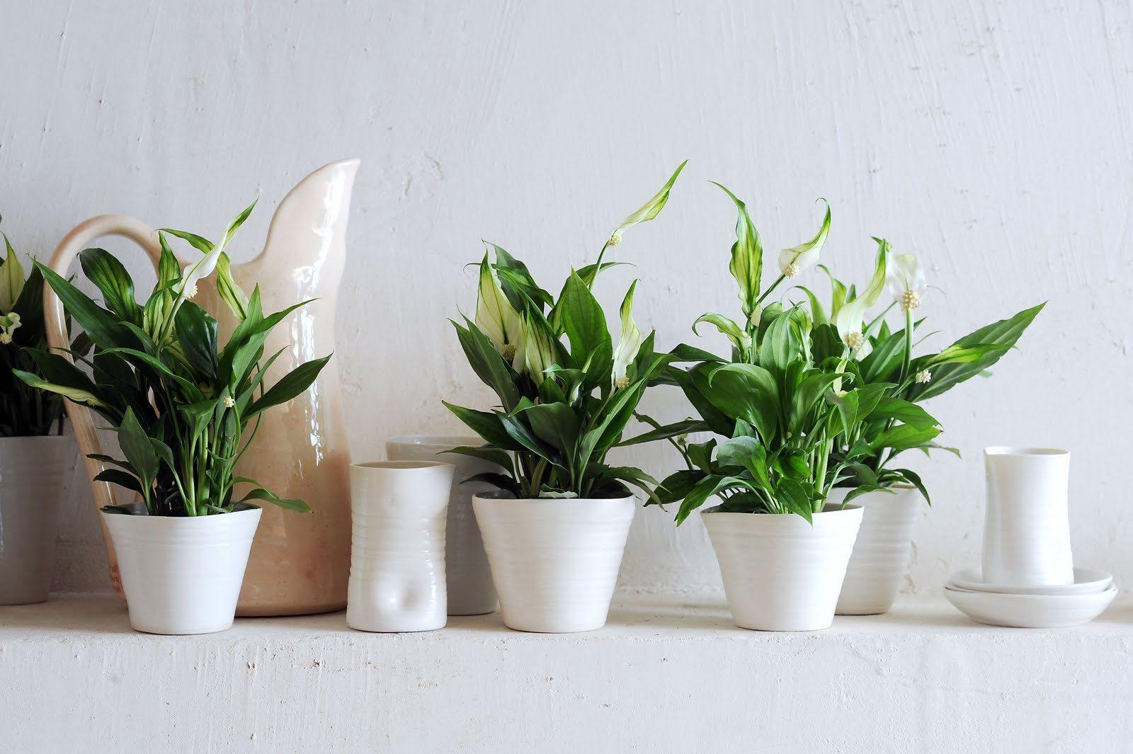plantas para el diseño de interior Espatifilo