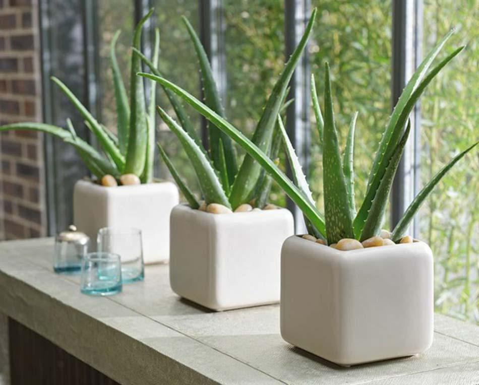 plantas para el diseño de interior aloe vera